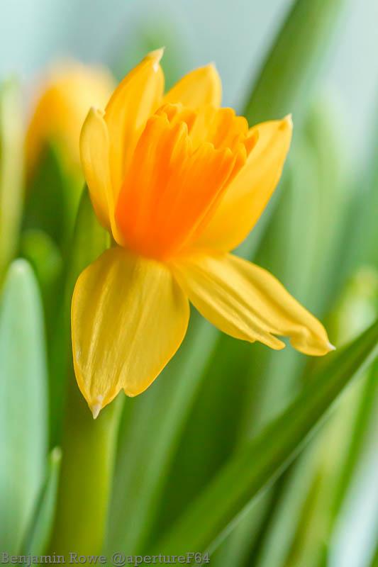 Daffodil Narcyz