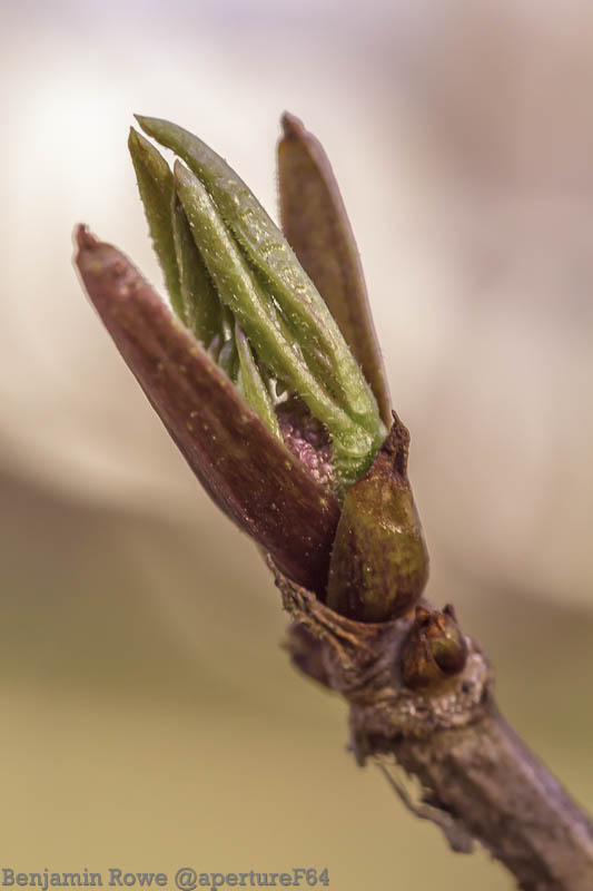 Opening Leaves