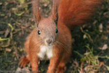 Pleading Red squirrel