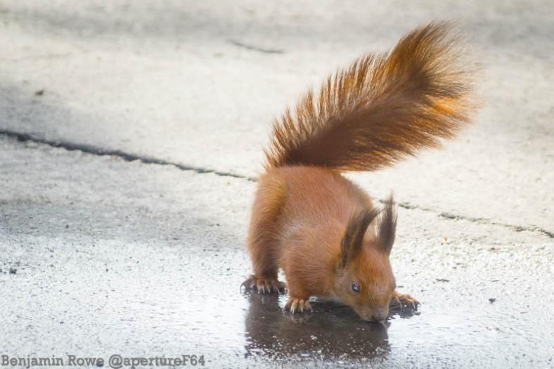 Squirrel Thirsty
