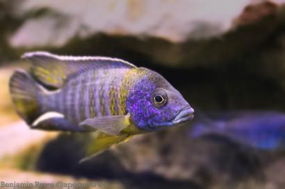 Aquarium Blue yellow fish