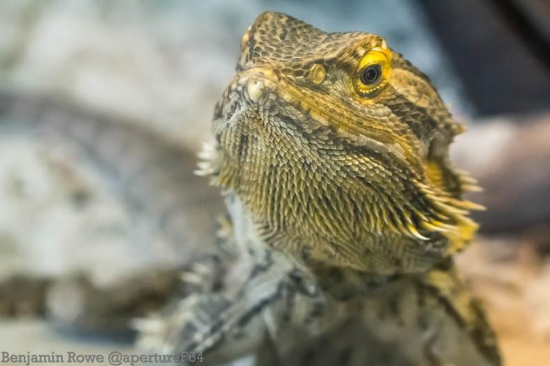 Pogona Bearded Dragon