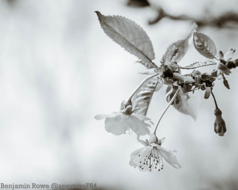 hanging white blossom monochrome