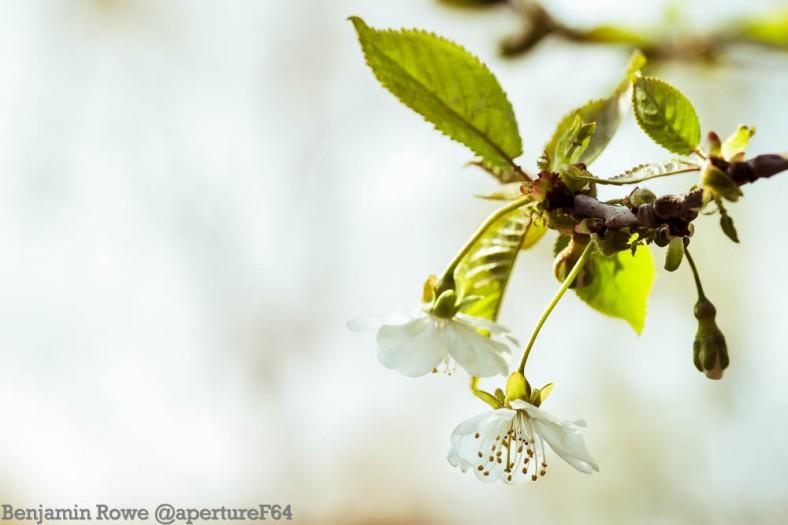 hanging white blossom