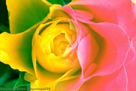 Rose merge