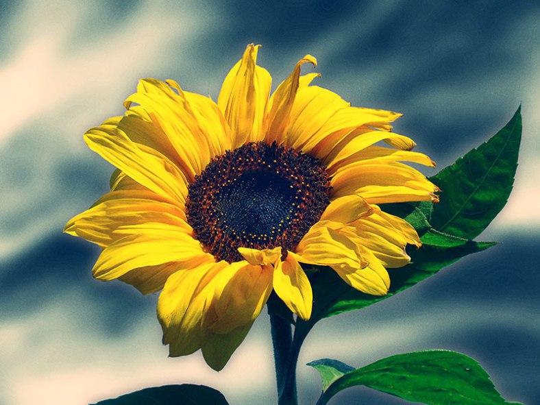 sunflower-zoom