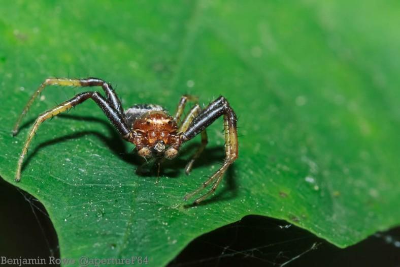 Macro Crab Spider Feeding