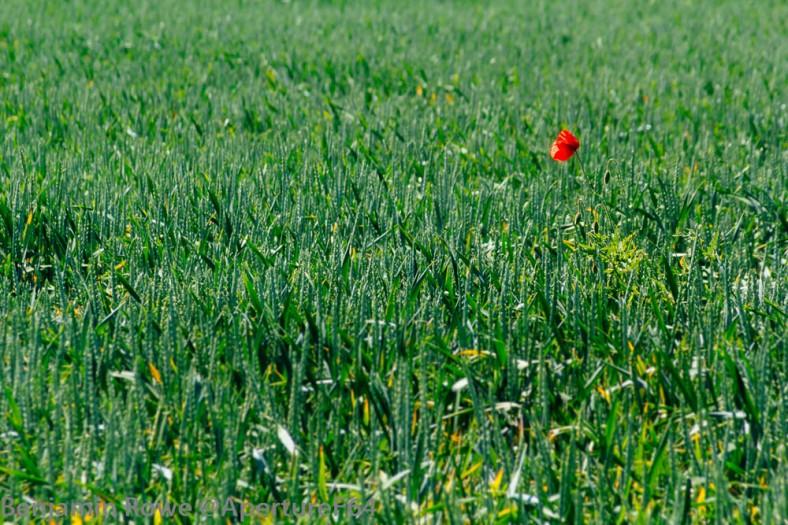 red poppy set in a green field_