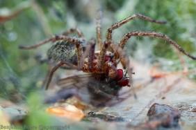 Funnel Spider Eating Prey