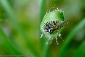 Drosophyllum Eating Insect