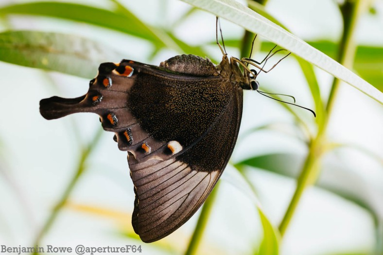 Upside down Butterfly