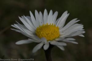 Daisy solarization before